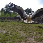GaiaZOO - Blog Wim Huygen - Training ooievaars (1)
