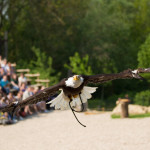 GaiaZOO - Roofvogel - Zeearend (1)