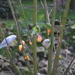 Voedering Vreemde Vogels Voliere (2)