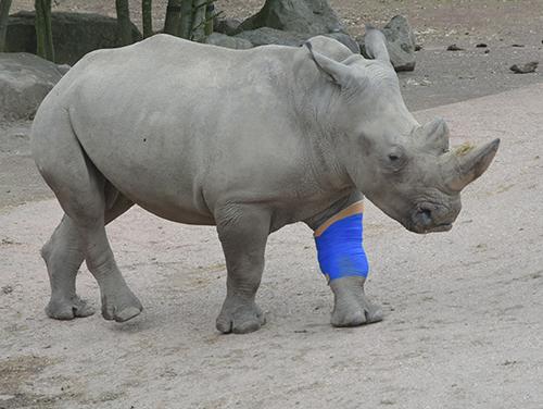 GaiaZOO - Neushoorn Thabo met  verband neushoorn Thabo