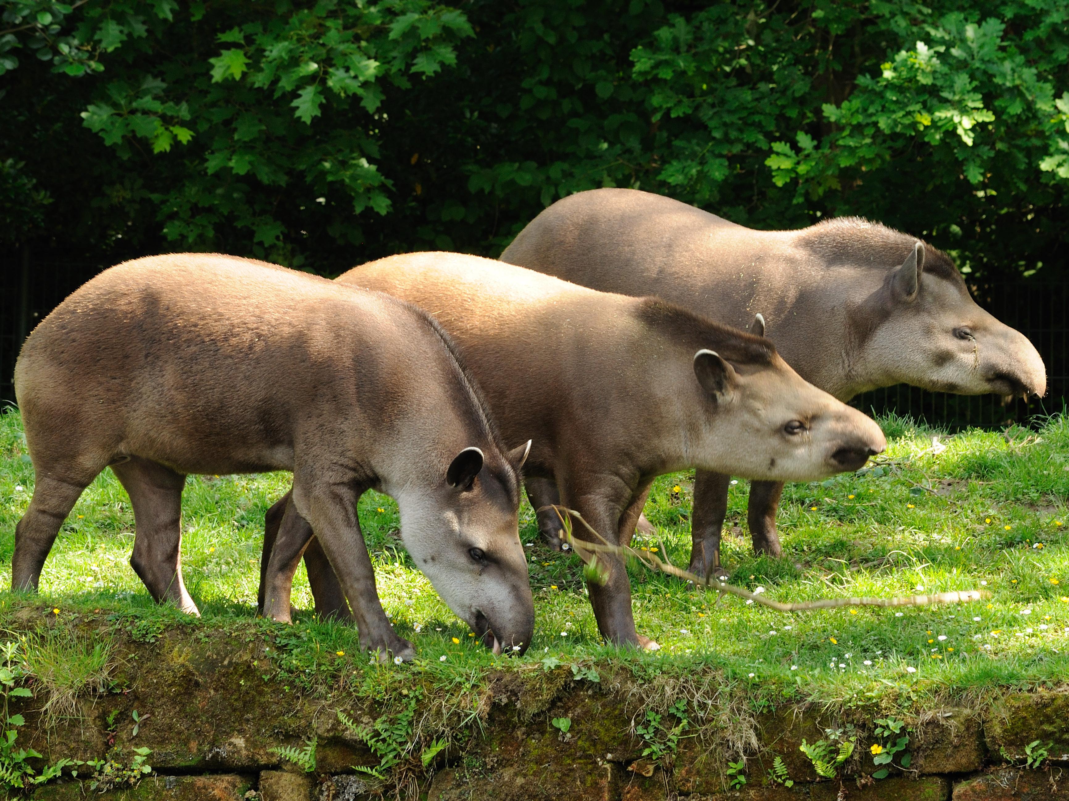 Tapirs samen GaiaZOO