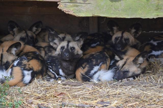 Afrikaanse wilde honden in nieuwe verblijf