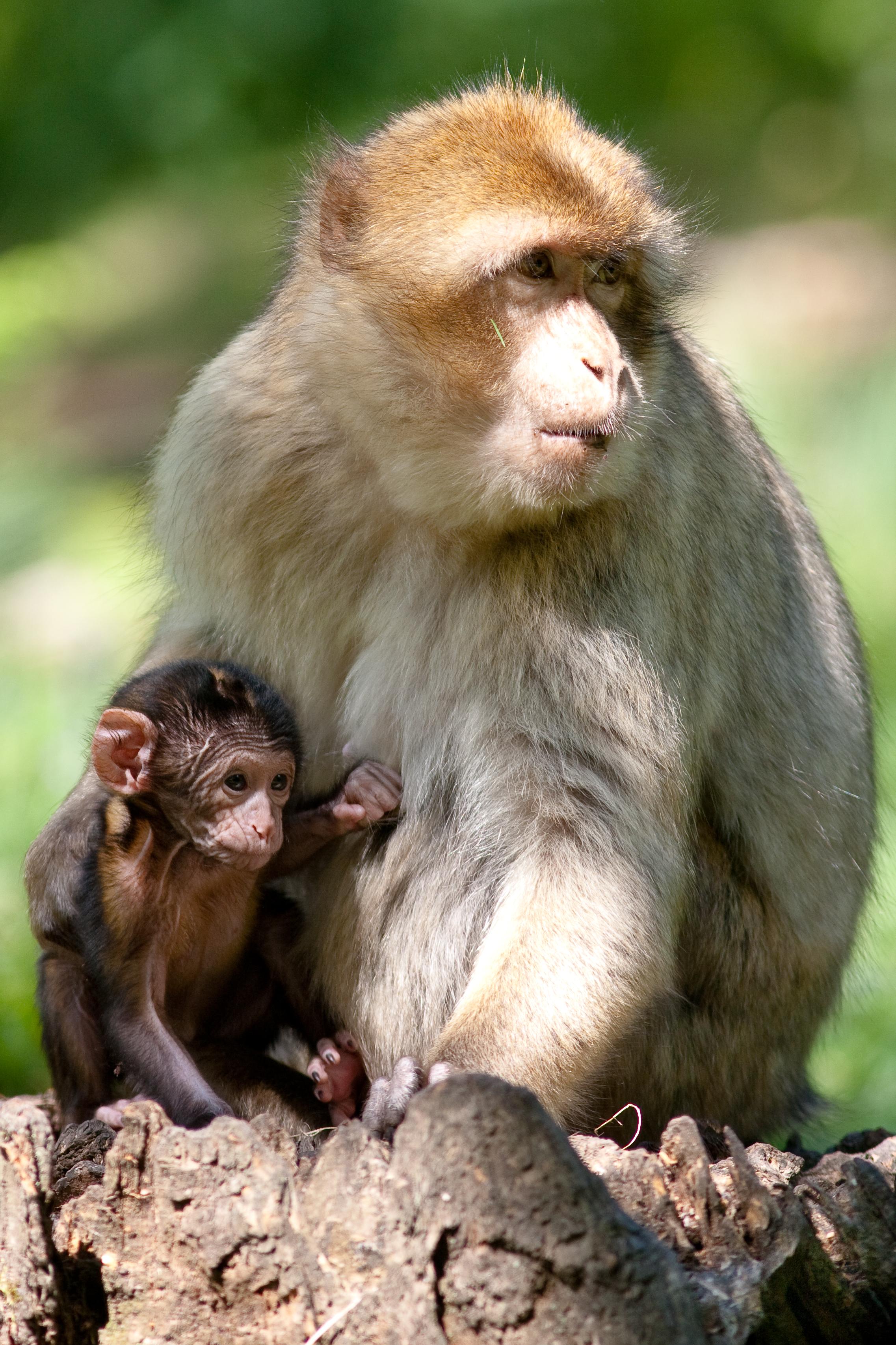 Berberaap - Moeder en jong - GsaiaZOO