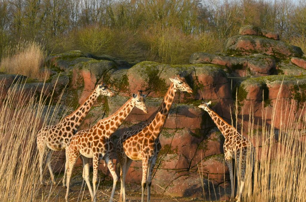 De giraffen zoeken beschutting tegen de wand van hun verblijf.