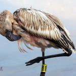 flamingo kuiken met pootring (Debbie Smith) 72330608_10159025200334746_7668876922637516800_o