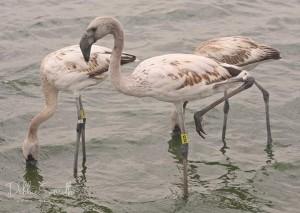 flamingo kuikens pootring (Debbie Smith 13 okt) 72297777_10159012707439746_4190183958132031488_n
