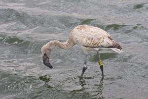 flamingo met pootring 13 okt (Debbie SMith) 72716008_10159012706919746_3004425130739761152_n