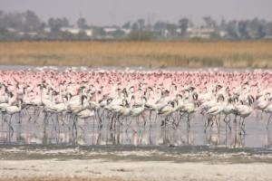 flamingos Debbie Smith - 73034840_10159025234949746_5485137776359768064_o