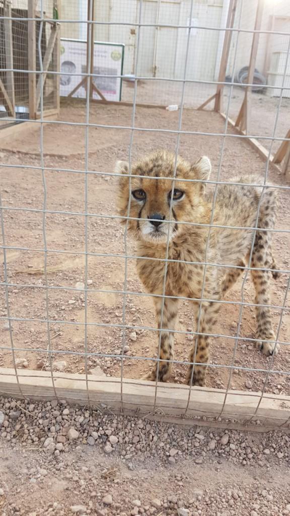 Jonge in beslag genomen cheeta welp