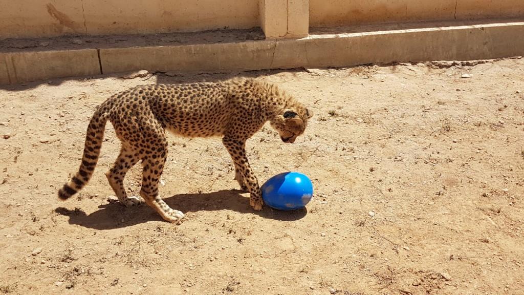 cheeta met grote kong
