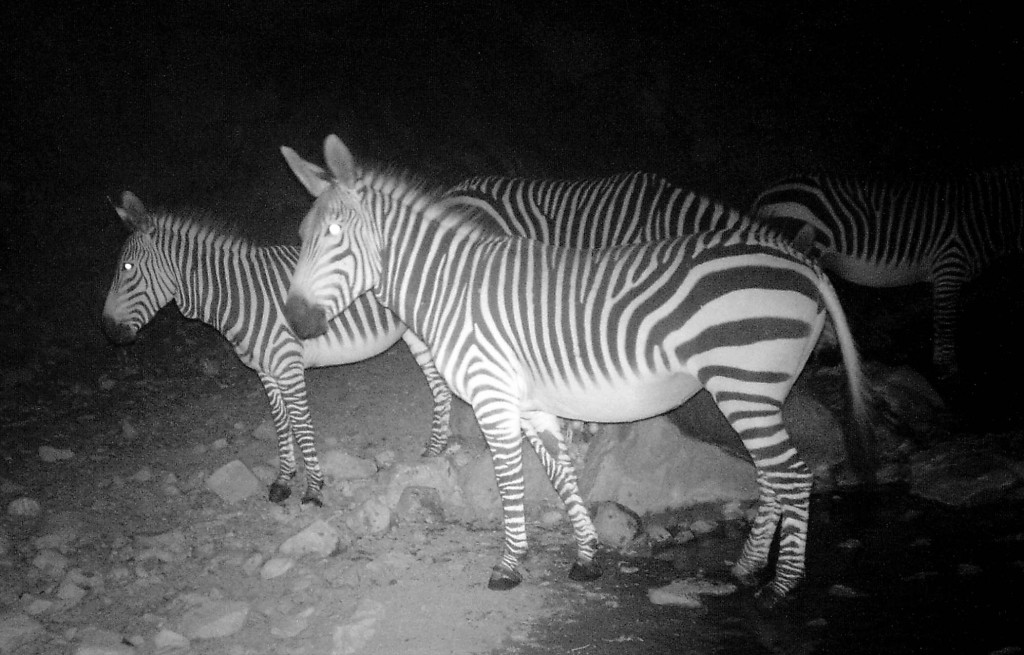 zebra in Olive Trail Namib-Naukluft NP - HUNT4426 cropped